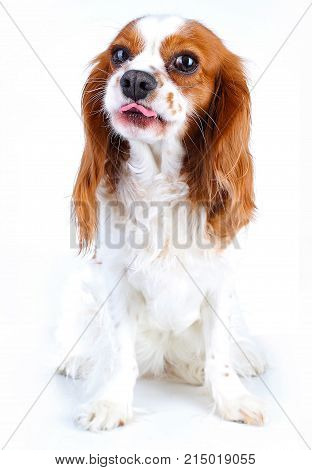 Funny puppy. Funny dog on isolated white studio background. Funny animal pet. Cute Cavalier king charles spaniel photos.