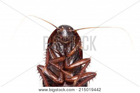 cockroach on white background . Photos in the studio