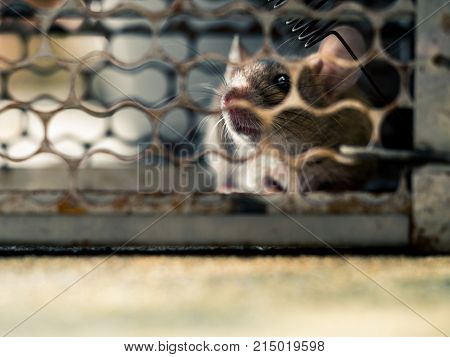 soft focus of the rat in a cage catching a rat. the rat has contagion the disease to humans such as Leptospirosis Plague. Homes and dwellings should not have mice. concept of Sanitation and Health.