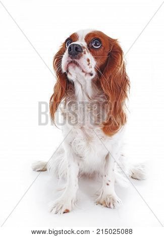 Dog listening. Clever trained dog. Dog training illustration. Cute cavalier king charles spaniel dog photos. Isolated white studio background.