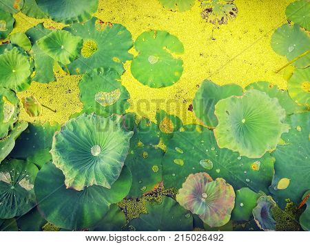 Lotus leaves and duckweed in natural pond.