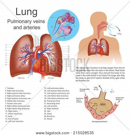 The lungs are the primary organs of respiration in humans and many other animals including a few fish and some snails. In mammals and most other vertebrates two lungs are located near the backbone on either side of the heart.