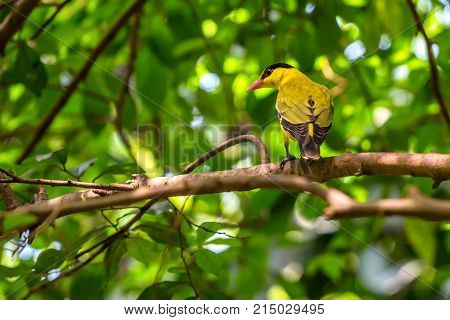 Black-naped oriole or Oriolus chinensis perches on a tree