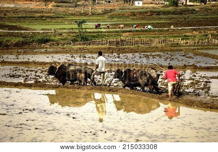 Nepalese farmers cultivate the field on oxen. Traditional way of processing fields in Nepal.
