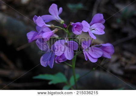Cardamine Dentaria quinquefolia in beech forest in Crimean mountain. Springtime ephemeroids. Subanki five-leaves flowers.