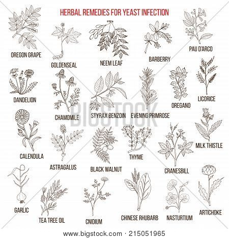 Best herbal remedies for yeast infection. Hand drawn vector set of medicinal plants