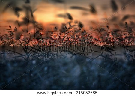 Dry reed whisks in wind against dark sky and white clouds background. Chinese or Japanese style. Swaying field of Feather Reed Grass in American midwest prairie in autumn. Soft focus