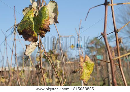 At the end of the season & after grape picking the vine leaves begin to yellow. Autumnal vineyard with yellow leaves and blue sky