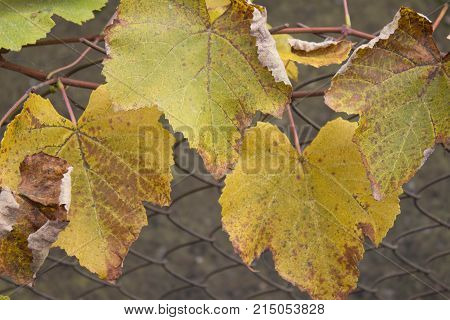 changing leaf color from green to yellow and orange during the fall season. Grape plant with yellow leaves
