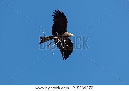 Yellow Billed Kite (milvus Aegyptius)