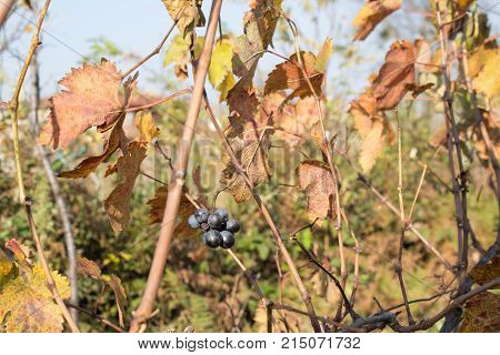 Vine with red and yellow leaves in autumn sunny day. Rows of Grape vines some with grapes still hanging