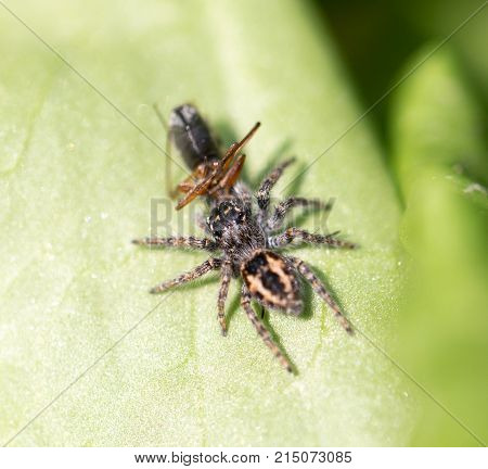 spider eating an ant. macro . In the park in nature