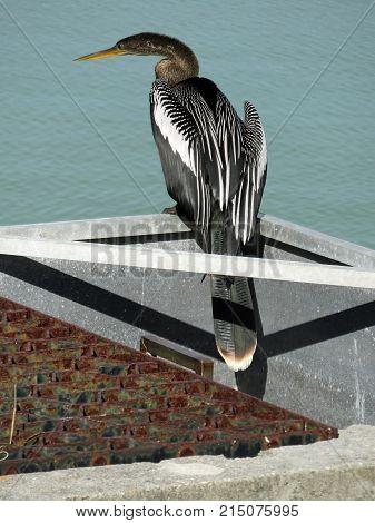 Anhinga Bird Ding Darling Wildlife Refuge Sanibel Florida Bailey Homestead Preserve