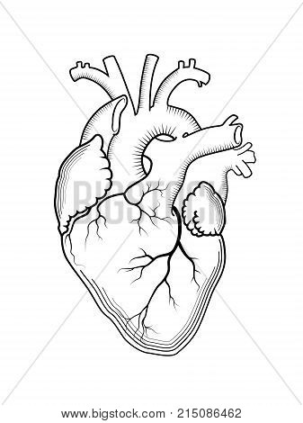 Heart. The internal human organ, Anatomical structure. Engraved print, outline drawing.
