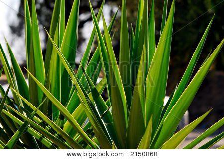 Green Zante Leaves