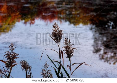Reeds On The Background Of Lake