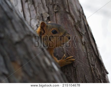 Close up of a squirrel between two tree trunks. Only its head and paw are shown. Photographed with a shallow depth of field.