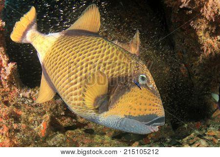 Titan Triggerfish fish