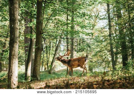 Beautiful deer with branched horns stands on a hill in an autumn forest among trees