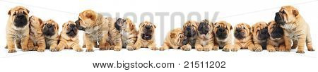 group of sixteen little sharpei (1 month) puppies dog isolated over white background