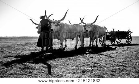 The hungarian grey cattle and the herdsman on Hungary Hortobágy