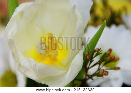 White and yellow tulip close up in bouquet