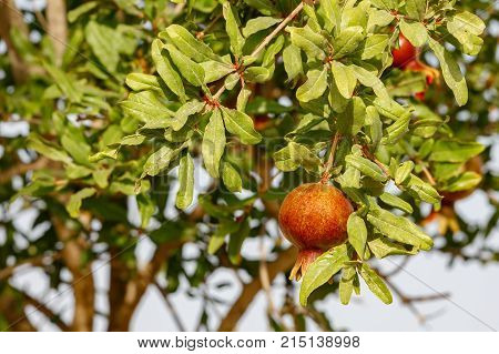 Small Ripe Fruit Of Pomegranate