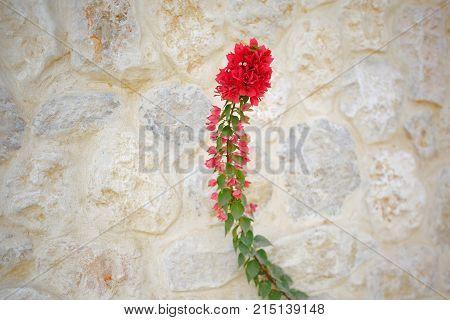 Bright Red Decorative Bougainvilleas