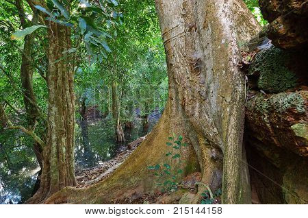 Dense jungles near Angkor Wat Complex Siem Reap Cambodia. Giant banyan tree growing on the ruins of the hindu temple on foreground