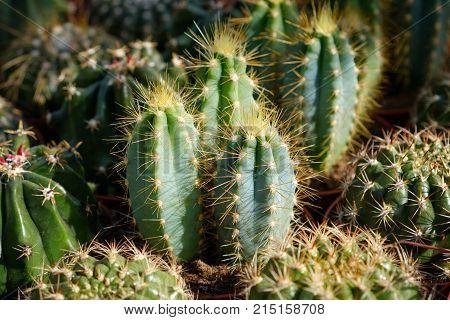 Miniature Cactus Plant Closeup - Cacti Macro