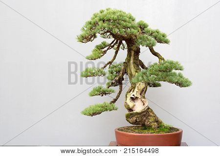 Twisted bonsai pine tree in a pot against a grey wall in BaiHuaTan public park, Chengdu, China
