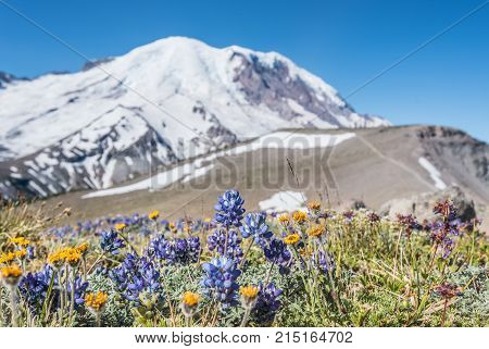 Alpine Flowers In Front Of Mount Rainier