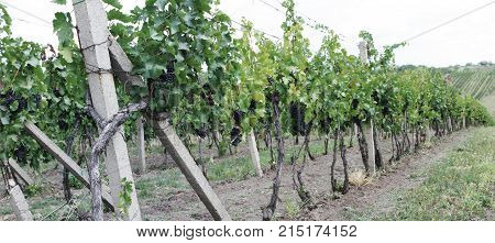 grapes on a vineyard an agriculturally cultivated landscape autumn