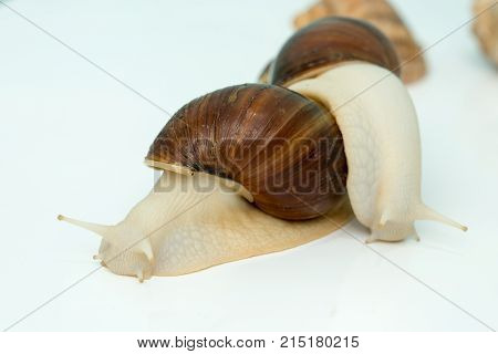 Giant snail Achatina is the largest land mollusk