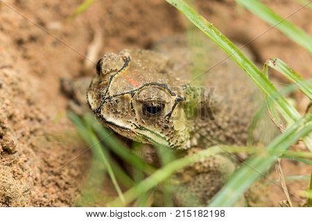 Toad hibernate. in asian tropical Thailand .Toad.