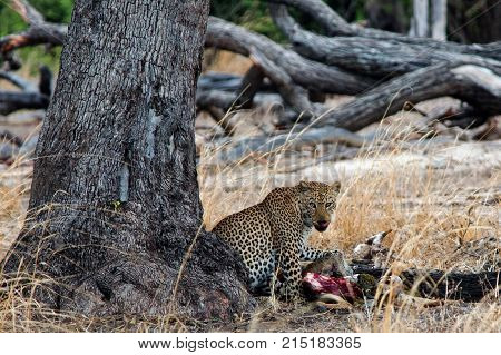 Large Male African Leopard feeding on a kill next to a tree trunk in South Luangwa National Par South Luangwa