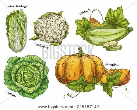 Set of isolated sketches of napa or chinese, pekinensis cabbage, pumpkin and squash or gourd, cauliflower. Healthy vegetables. Agriculture and vegan restaurant or shop, cooking and grocery theme