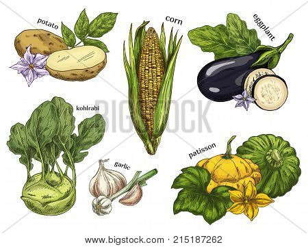Natural vegetable healthy food sketches. Vegetarian potato and vegan corn, healthy kohlrabi cabbage and garlic, eggplant, pattypan or white squash. Organic and natural nutrition, salad ingredient