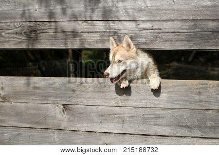 Pet and animal Siberian husky dog year. New year christmas xmas. Year of dog holiday celebration. Zoo shelter farm or captivity. Husky or wolf at wooden background copy space.