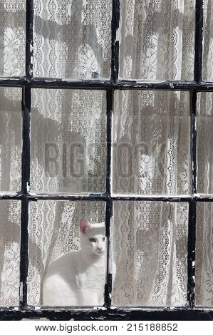 white cat in a window with a curtain