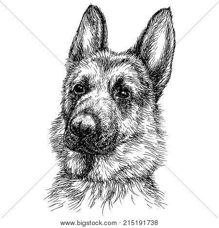 Sketch Portrait of a beautiful German Shepherd. German sheepdog head freehand drawing