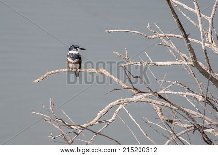 Adult female belted kingfisher pearched on a tree over a river