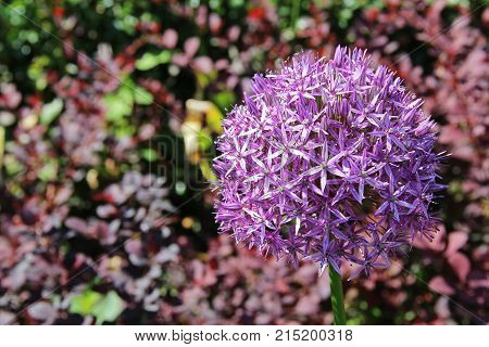 Beautiful Purple Allium flower (Decorative Onion) with green natural background. Perfect image for: pink alliums flowers close up head detail allium isolated with blurred background florist and gardening etc.