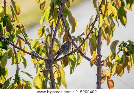 Male house finch pearched on a fruit tree with blured background