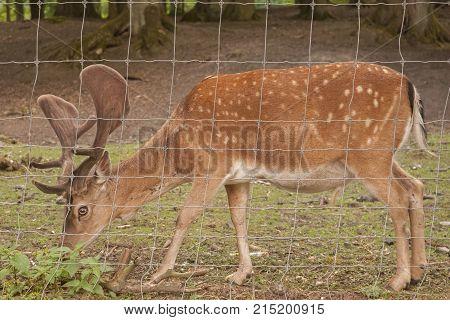 It is image of follow deer in park