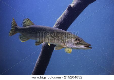 Russia Astrakhan Fish pike in fresh water