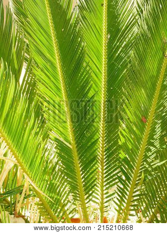 Fanned out bright pale green vertical cycad leaves