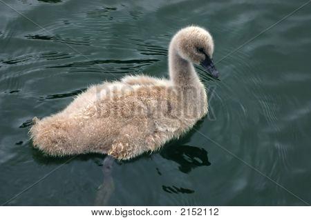 Cute Swan Chick