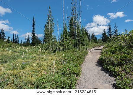 Bear Grass Grows Along Mount Rainier Trail