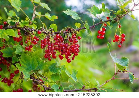 Red Currant Berries On The Bush